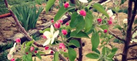 Fruit tree - Miracle Gro - #GroSomethingGreater