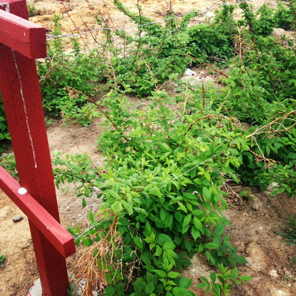 Raspberry bushes - Fruit tree - Miracle Gro - #GroSomethingGreate